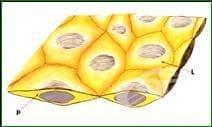 Еднослоен покривен епител - изображение