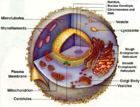 Еукариотни клетки (Eukaryotes) - изображение
