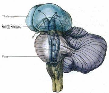 Ретикуларна формация (Formatio reticularis) - изображение