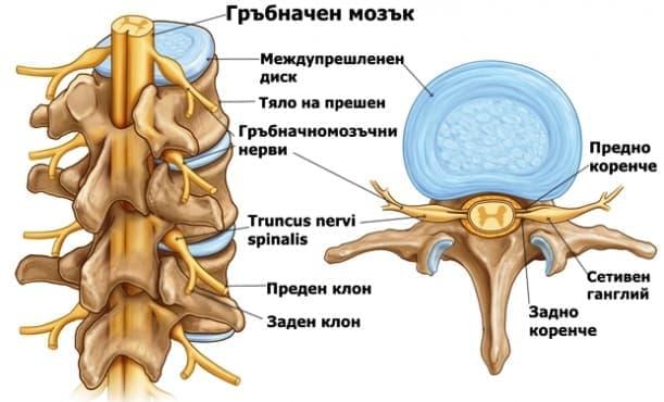 Формиране на гръбначномозъчните нерви - изображение