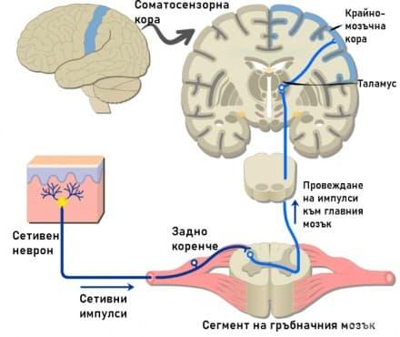 Функционални системи в ЦНС - изображение