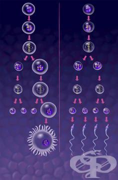 Гаметогенеза - изображение