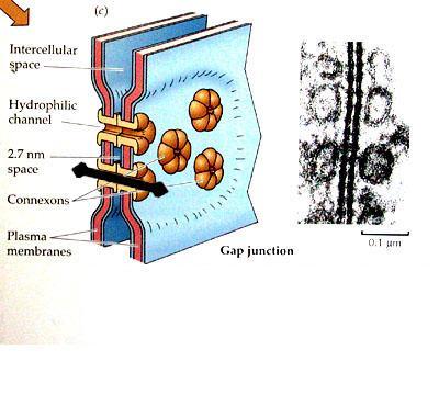 Междуклетъчни свързвания - изображение