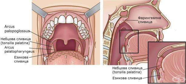 Гърло (fauces) - изображение