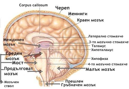 Главен мозък (encephalus) - изображение