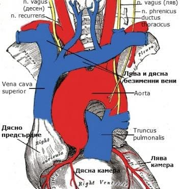 Горна куха вена (vena cava superior) - изображение