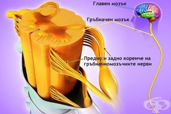 Гръбначен мозък (medulla spinalis) - изображение