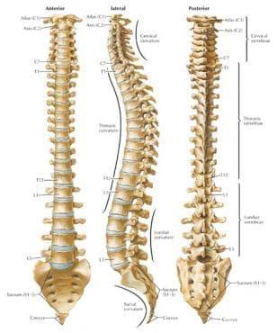 Гръбначен стълб (columna vertebralis) - изображение