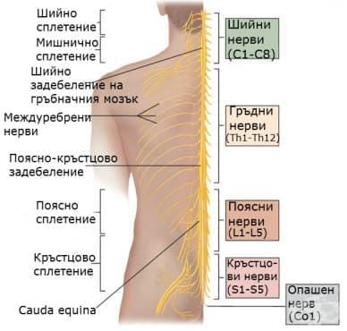 Гръбначномозъчни нерви (Nervi spinales) - изображение