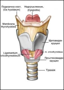 Гръклян (larynx) - изображение