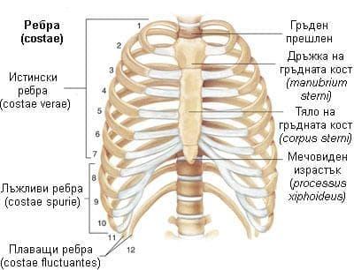 Гръден кош (thorax) - изображение