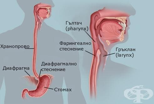 Хранопровод (oesophagus) - изображение