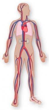Хистологично устройство на сърцето - изображение