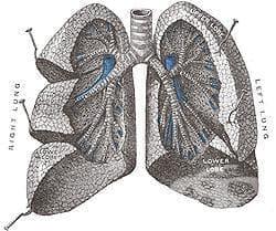 Хистологично устройство на белите дробове - изображение