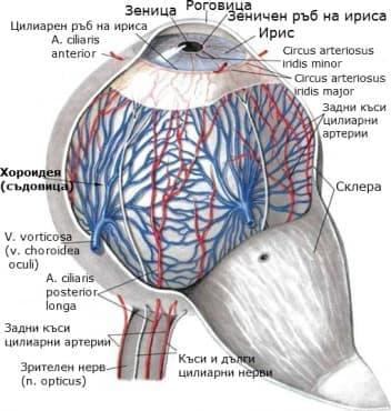 Хороидея (Choroidea) - изображение