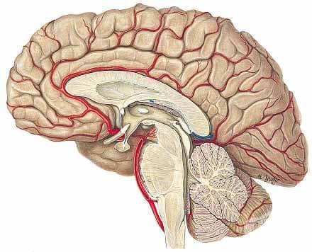 Хистологично устройство на хипофизата - изображение