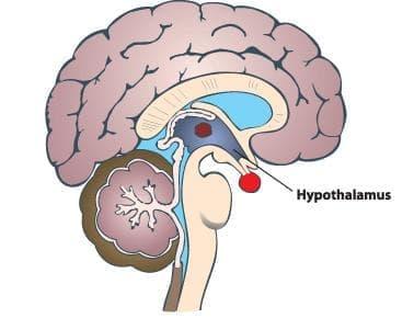 Хипоталамус (hypothalamus) - изображение