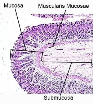 Хистология на стомаха - изображение