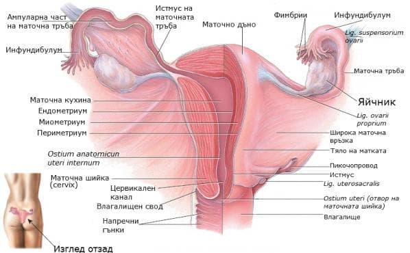Яйчник (ovarium) - изображение