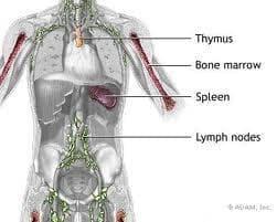 Имунна система (Systema immunis) - изображение