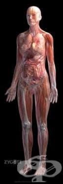 Опорно-двигателна система (Systema musculoskeletale) - изображение