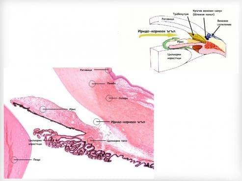 Иридо-корнеен ъгъл (Angulus iridocornealis) - изображение