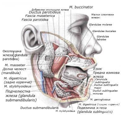 Жлези на устната кухина (glandulae oris) - изображение