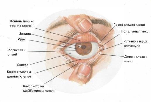 Клепачи (Palpebrae) - изображение