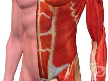 Коремни мускули (musculi abdominis) - изображение