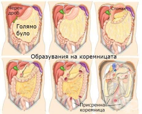 Коремница (peritoneum) - изображение