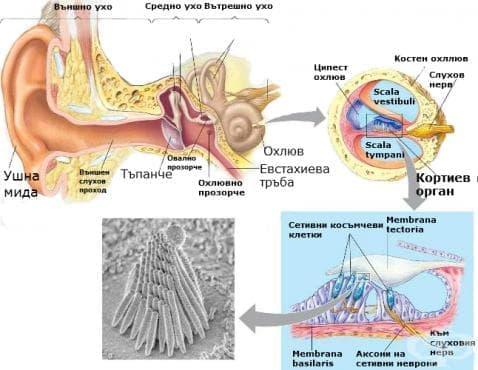 Кортиев орган - изображение