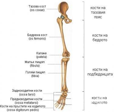 Кости на долния крайник (ossa membri inferioris) - изображение