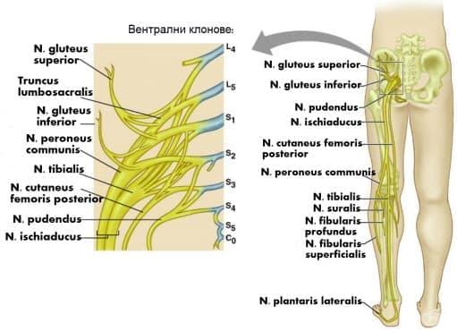 Кръстцово сплетение (plexus sacralis) - изображение
