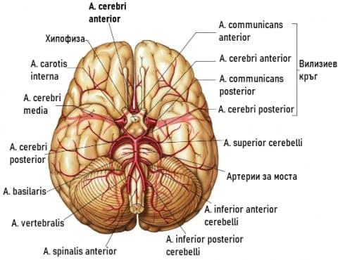 Кръвоснабдяване на главния мозък - изображение
