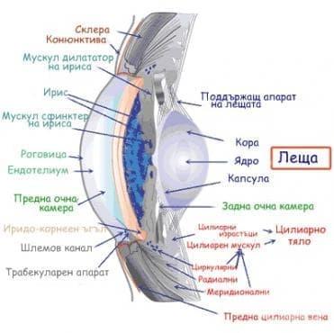 Леща (Lens cristalina) - изображение
