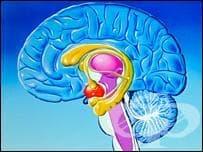Лимбична система (Systema limbicum) - изображение