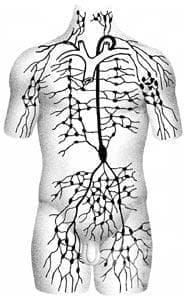 Лимфна система (systema lymphaticum) - изображение