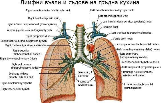 Лимфни възли и съдове на гръдна кухина - изображение