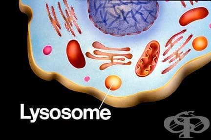 Лизозоми (Lysosomes) - изображение