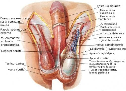 Мъдница, скротум (scrotum) - изображение