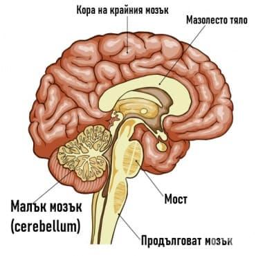 Малък мозък (Cerebellum) - изображение