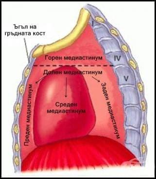 Медиастинум (mediastinum) - изображение