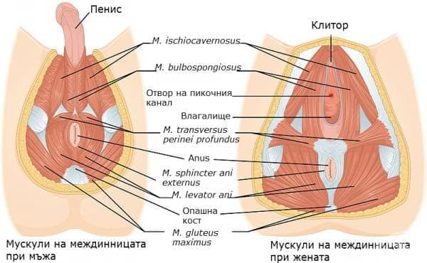Междиница (perineum) - изображение
