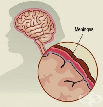 Хистологично устройство на мозъчните обвивки - изображение
