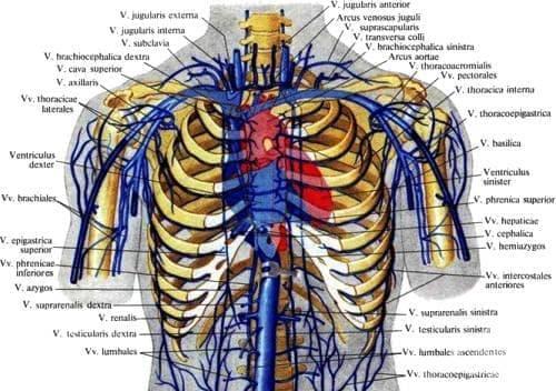 Мишично-главови вени (vv. brachiocephalicae) - изображение