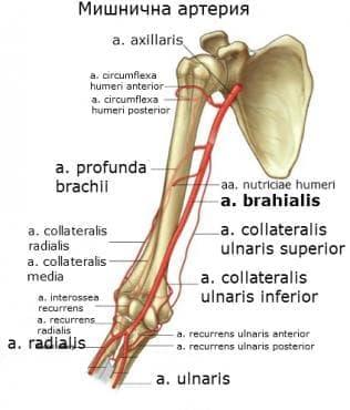 Мишнична артерия (arteria brachialis) - изображение