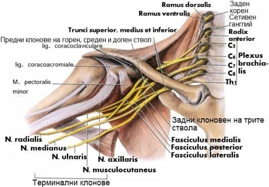 Мишнично сплетение (plexus brachialis) - изображение