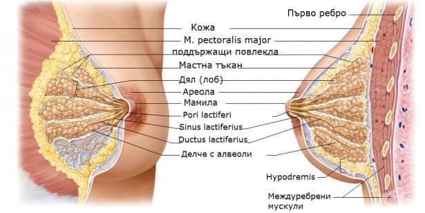 Млечна жлеза (Glandula mammaе) - изображение