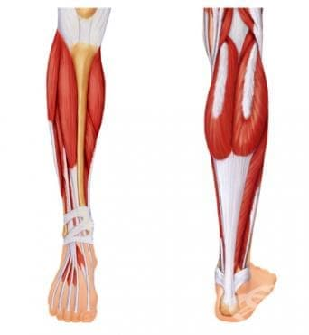 Мускули на подбедрицата (musculi cruris) - изображение