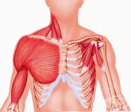 Мускули на гърдите (musculi thoracis) - изображение